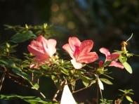 A few Azalea blossoms battle the chill.