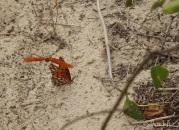 Gulf fritillary butterflies do a mating dance on the sand.