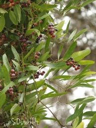 Native vine - Smilex with fruit Fruit
