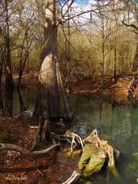 Cypress tree at spring