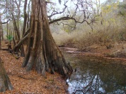 Large old Cypress Tree along Lime Sink Run