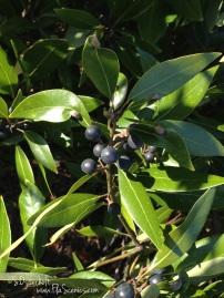 Berries on the Bay Tree