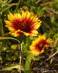 Some Blanket Flowers grow along the road