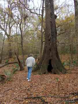 Another holy tree! Totally hollow inside