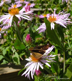 A Skipper butterfly suns on the flowers