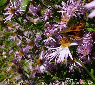A Fiery Skipper enjoys the Asters too.