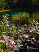 Asters bloom along the water's edge