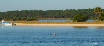 Dolphins cruise along the intercoastal waterway