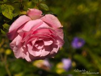 Beautiful Roses bloom in the Rose Garden