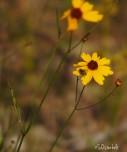 Coreopsis blooming