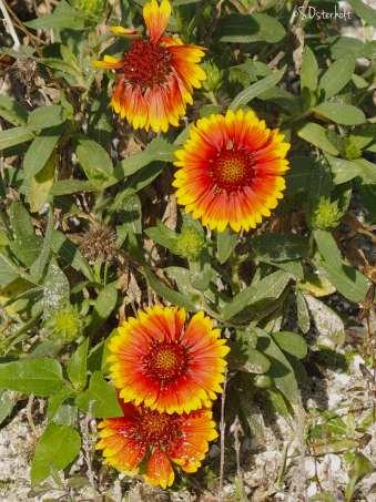 Blanket Flowers blooming like sunshine