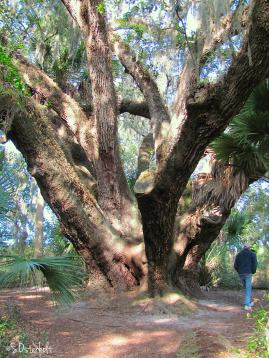 This is one very big Live Oak!