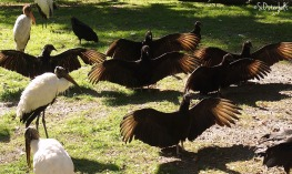 a vulture yoga class taught by the wood stork!