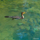 Cormorant takes advantage of fish
