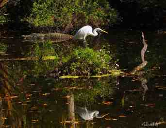 Egret relaxes while alligator lurks