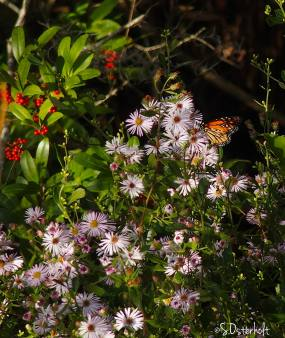 Monarch butterfly on blooming asters with wild holly in background