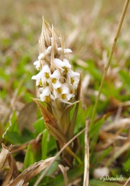 Lawn Orchid