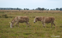 Burros in the pasture
