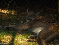 Florida Panther taking a snooze