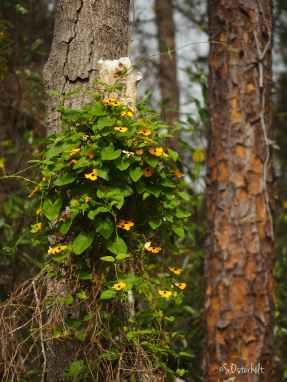 Black Eyed Susan Vine grows along the pines