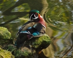 Beautiful wood ducks are plentiful here