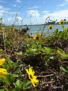 Beach Dune Sunflowers bloom along the dry dunes