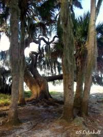 Old oak & palms along the waters edge