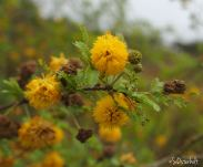 Flowering Sweet Acacia