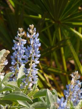 Blue Lupines and Palmetto