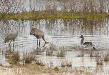 Sandhill Cranes bathe in the lake