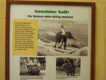 Famous Waterskiing Elephant
