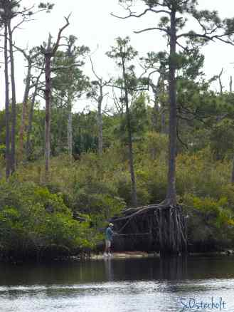 Loved the roots of this unique pine tree along the Loxahatchee River