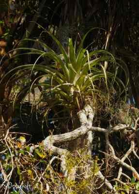 Huge bromeliad growing in the oak branches