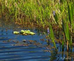 Pickeral weed and water lettuce