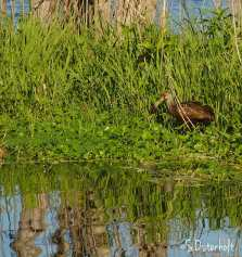 Limpkin fishes for lunch