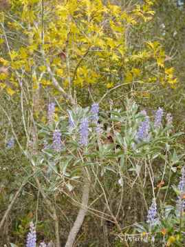 Lupines glow against newly sprouted yellow leaves of Turkey Oak