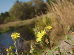 Rock Rose blooms along the canal