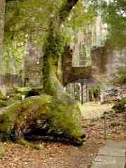 Twisty oak at the Ruins