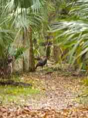 Turkey on the trail!