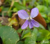 Violets blooming in the lawn.