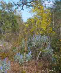 Blue Lupines bloom agains the Yellow leaves on a Turkey oak