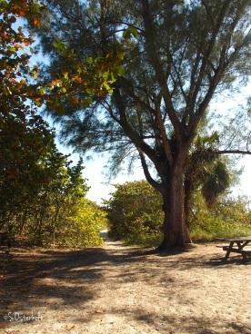 Australian Pines along the shore