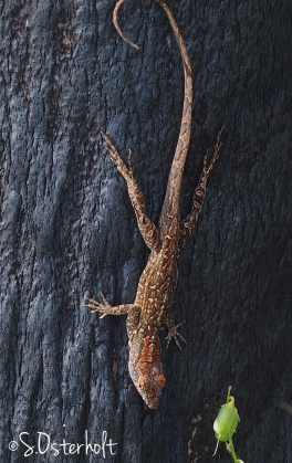 Cool patterns on a Cuban Anole