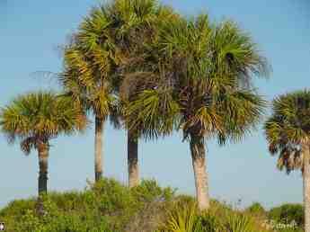 Honeymoon Island palms