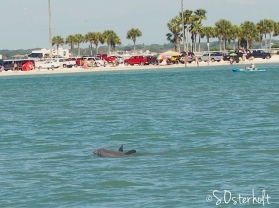 Dolphins swimming alongside the ferry