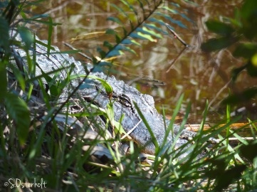 Alligator snoozing along the trail