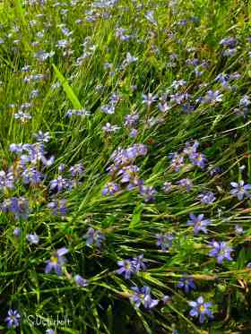 Blue Eyed Grass growing next to the Indian Paintbrush