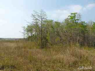 Young cypress tree dome