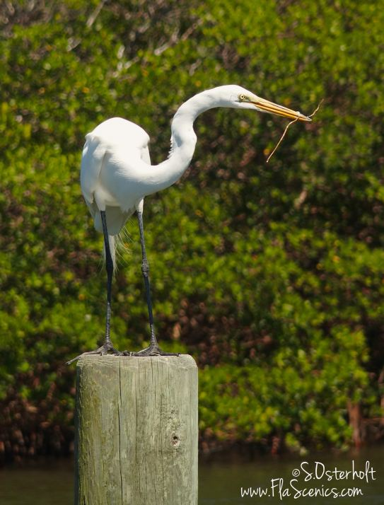 Caladesi Island beach Egret with stick - must be building his nest nearby.