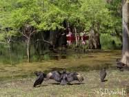 Vultures along the shore